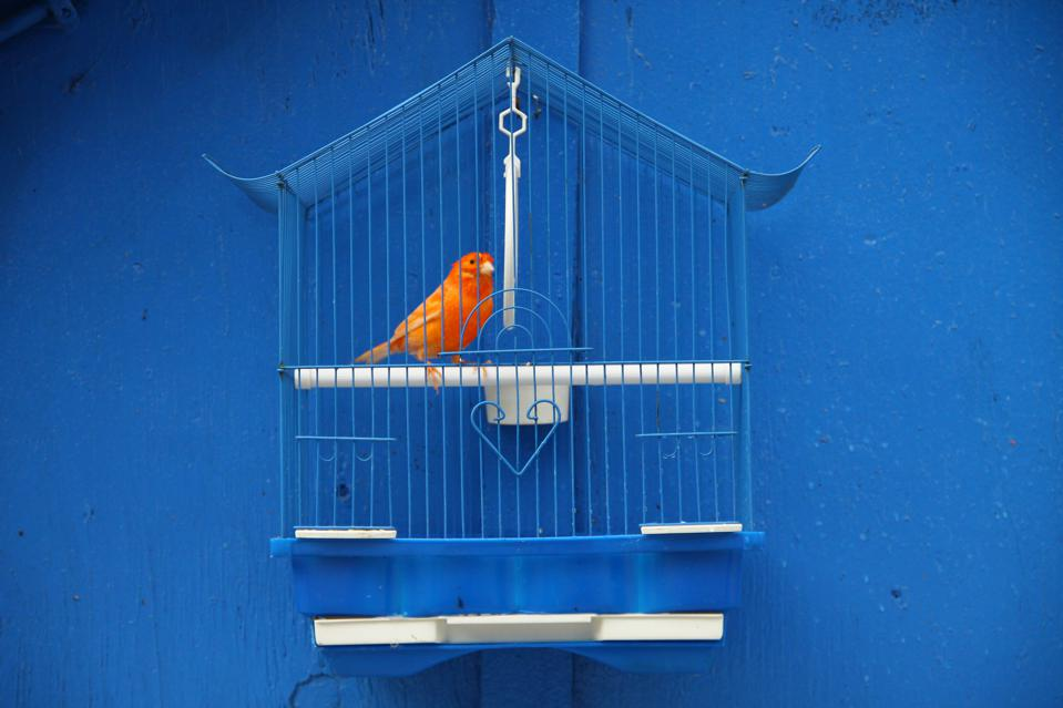 Orange bird in cage against blue wall showing importance of getting out of the house for your career.
