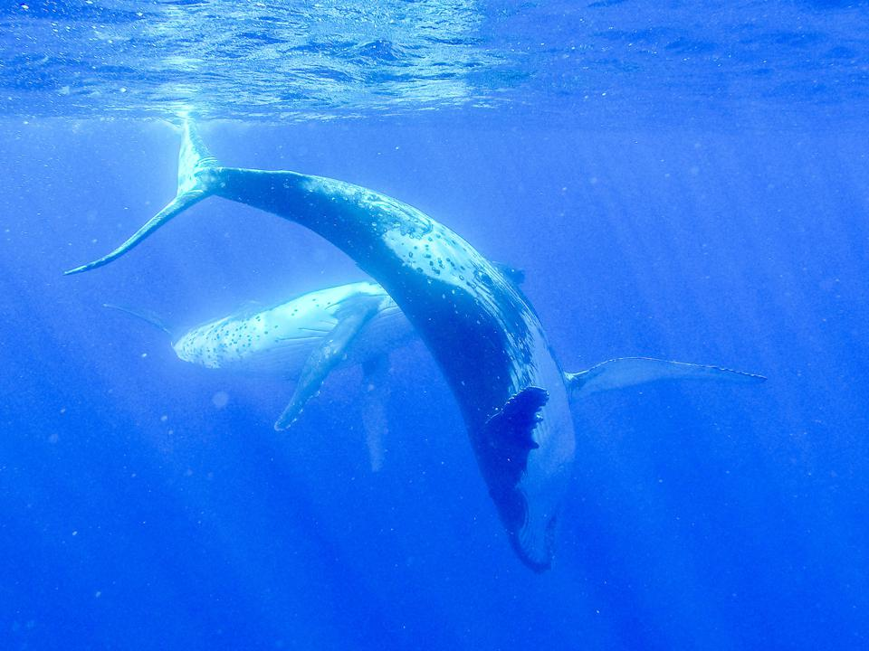 Two humpback whales, one with its head pointed toward the sea bottom and with its back arched.