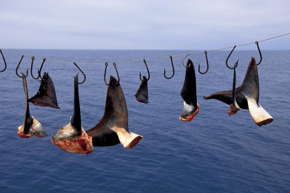 Shark fins hanging from hooks on a line with water in the background.
