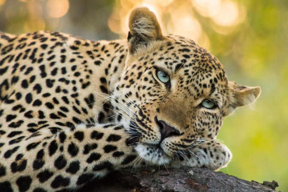 Sunset Leopard in a tree.