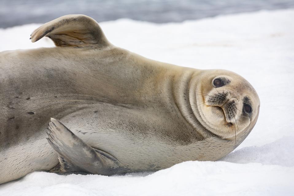 Antarctic fur seal - South Shetland Islands - Antarctica