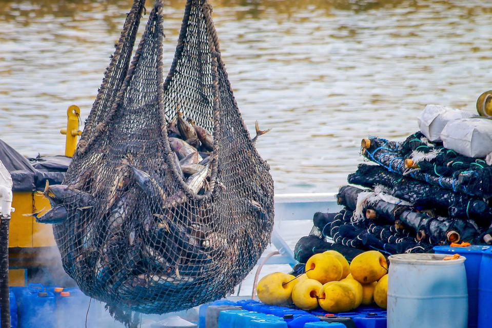 A net full of tuna hanging over the deck of a boat.