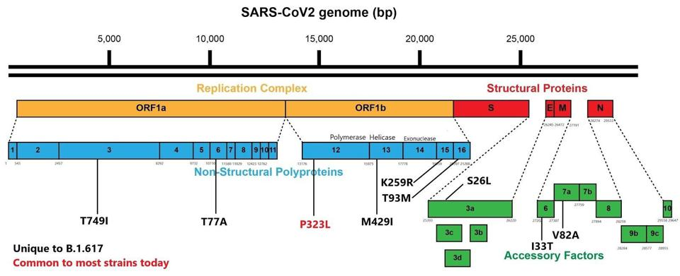 B.1.617 genome with mutations