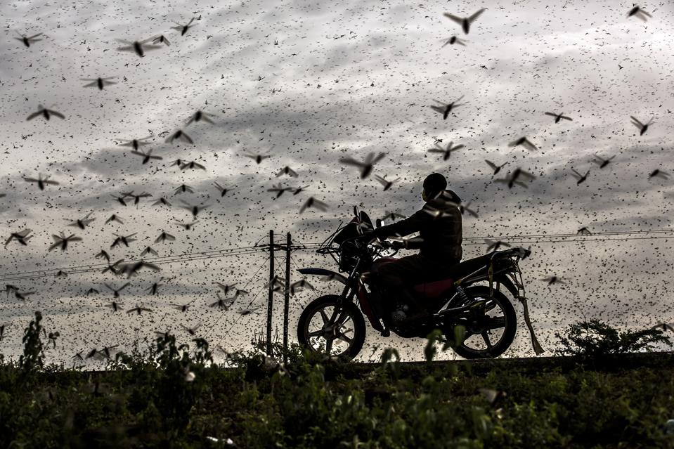 A locust plague and motorbike rider