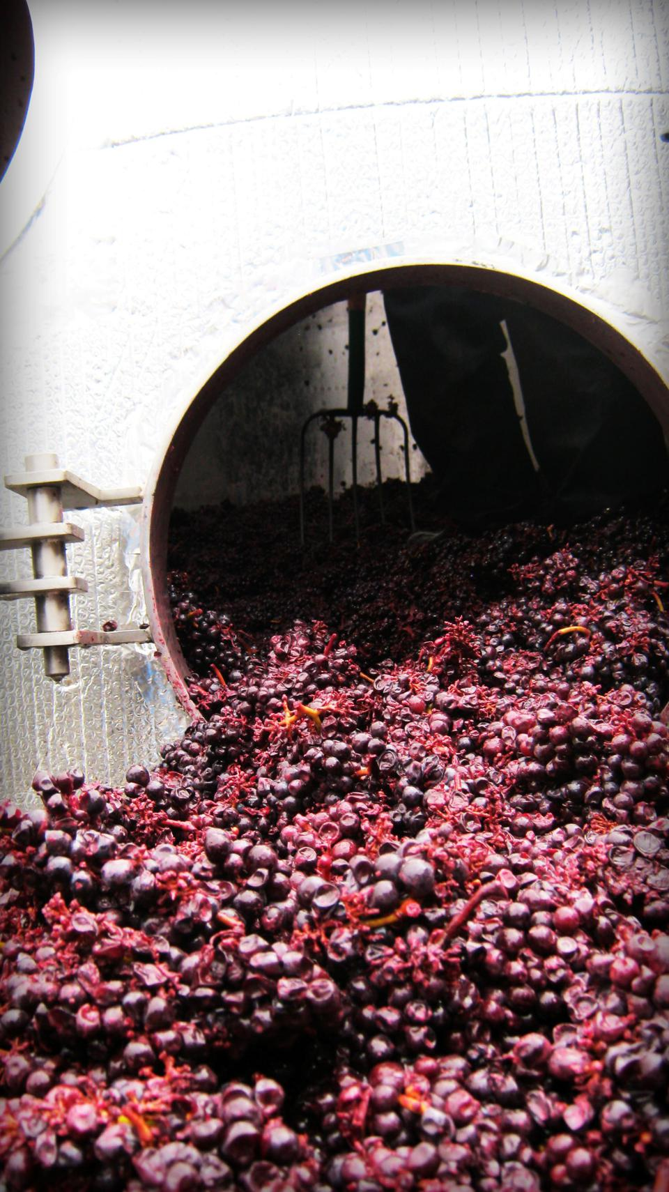 Whole cluster Pinot noir grapes being emptied from a fermentation tank prior to being crushed.