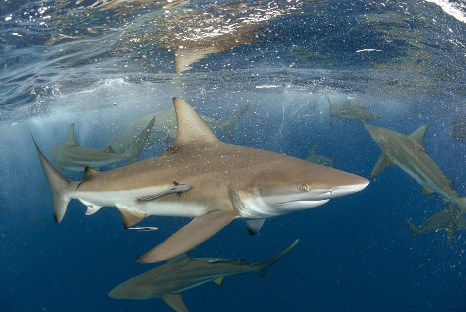 Blacktip sharks swimming near the water surface