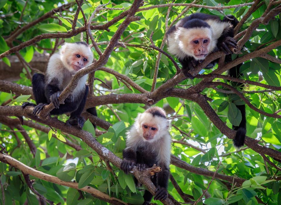 Three Capuchin Monkeys on Tree