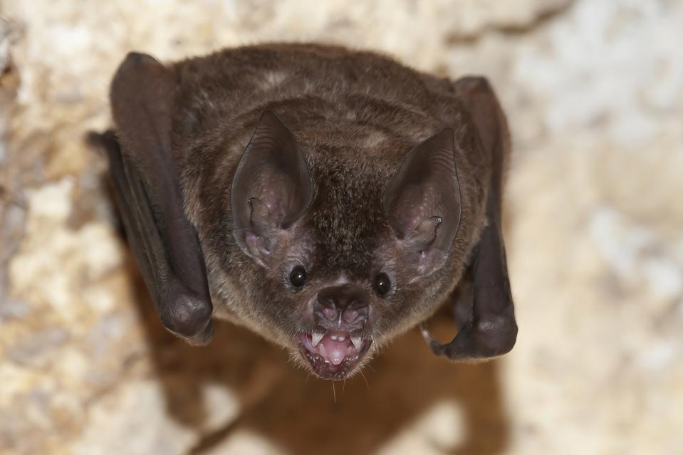 A Seba's short-tailed bat (Carollia perspicillata) in Guatemala, showing teeth