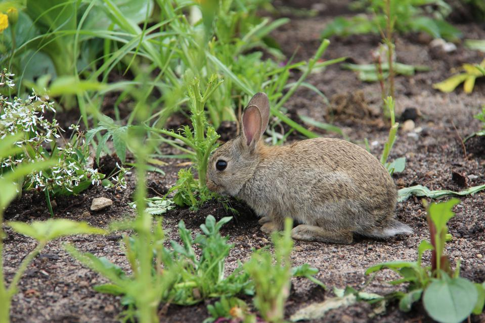 Rabbits can be pests when it comes to gardens.