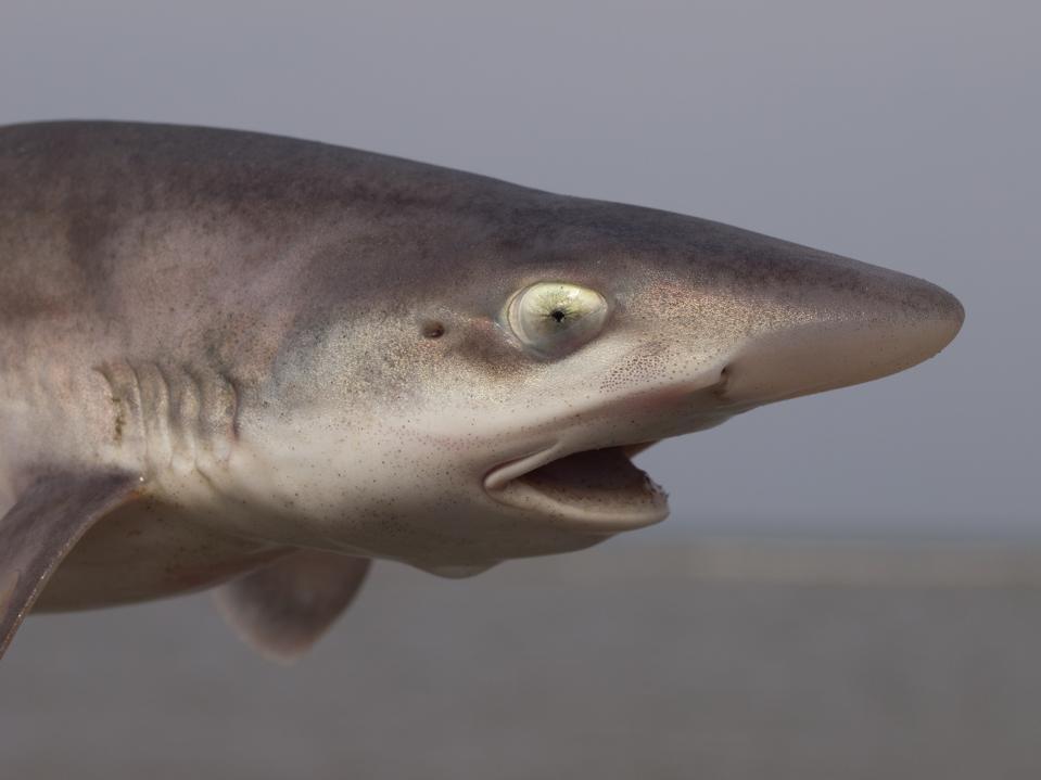 Common smoothhound shark