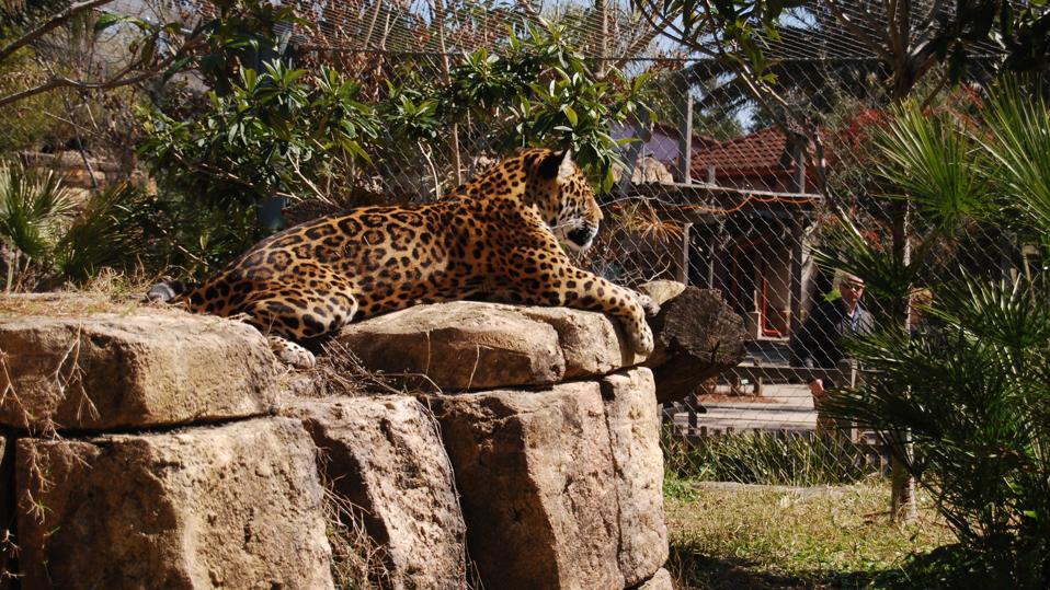A jaguar sitting on top of a pile of rocks