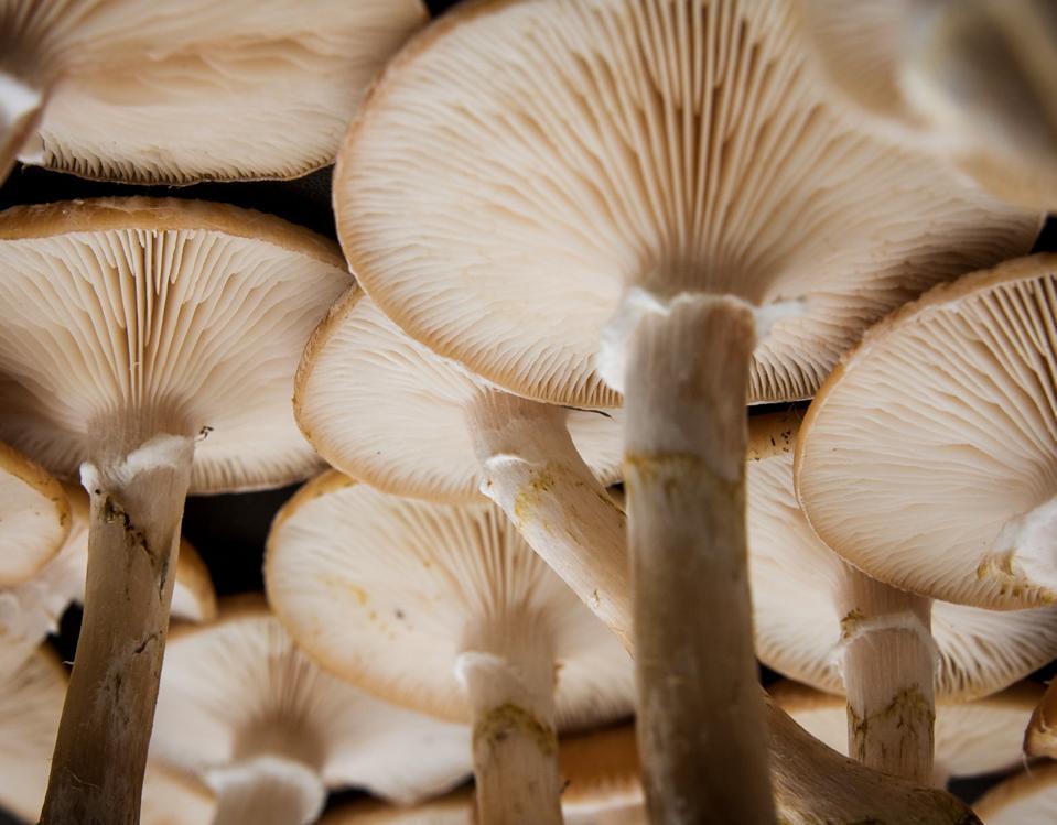 Large Group of Mushrooms Viewed from Below