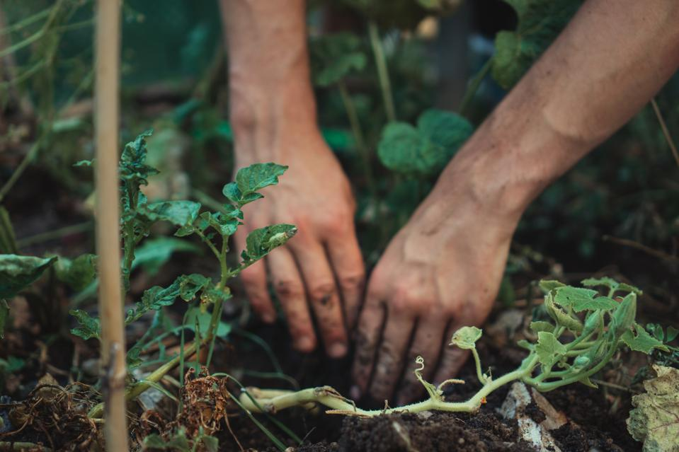 Guests of Patina Maldives can forage in the resort's organic permaculture garden.