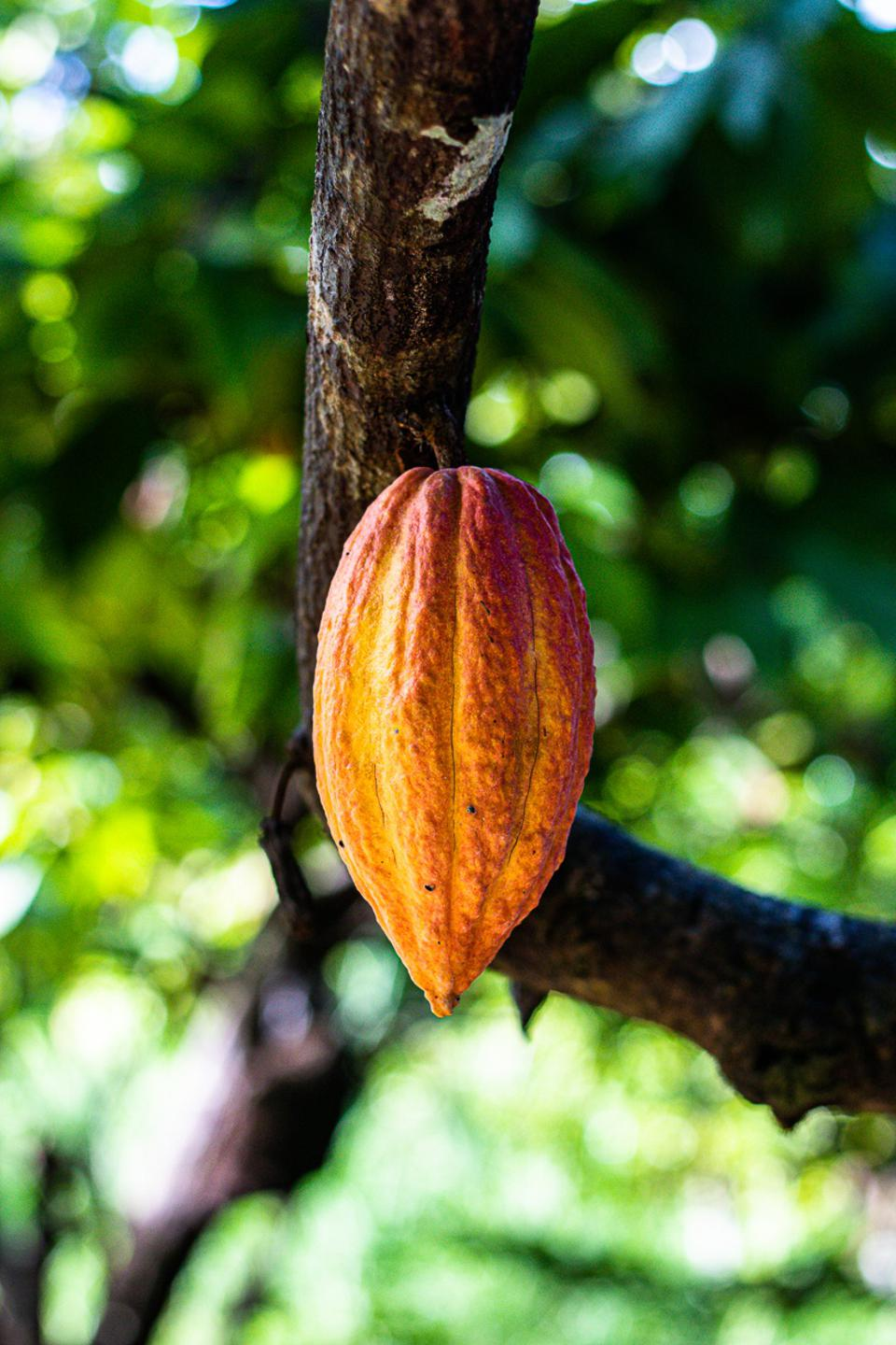 An orange cacao pod hangs from a tree