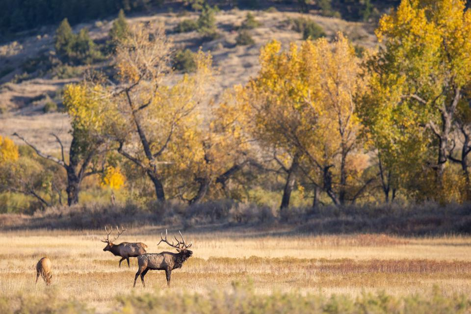 Elk on Charles M. Russell National Wildlife Refuge