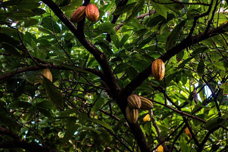 The photo is mostly of green leaves but there are a half dozen orange-brown cocoa pods hanging from tree branches