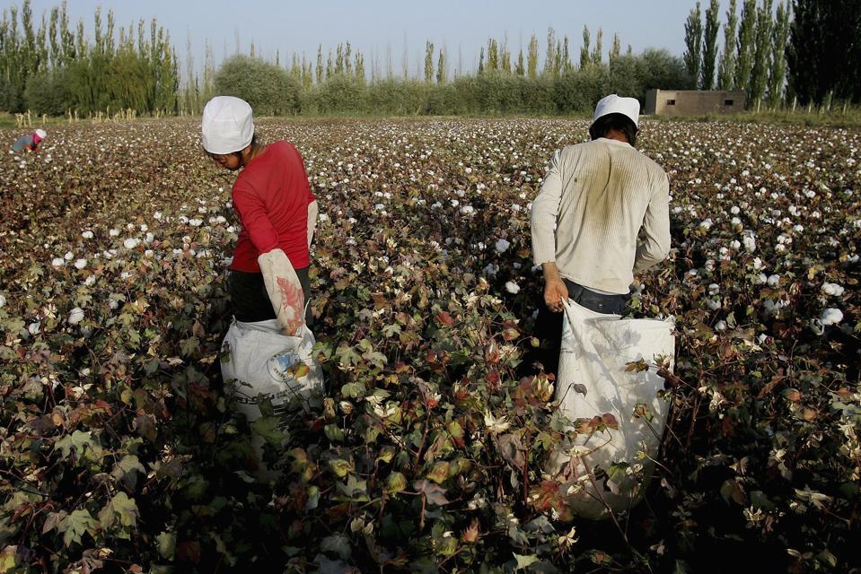 Chinese Farmers Pick Cotton In Xinjiang Region