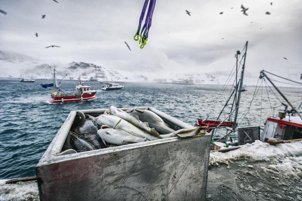 Fishing boats out for skrei cod in the arctic sea
