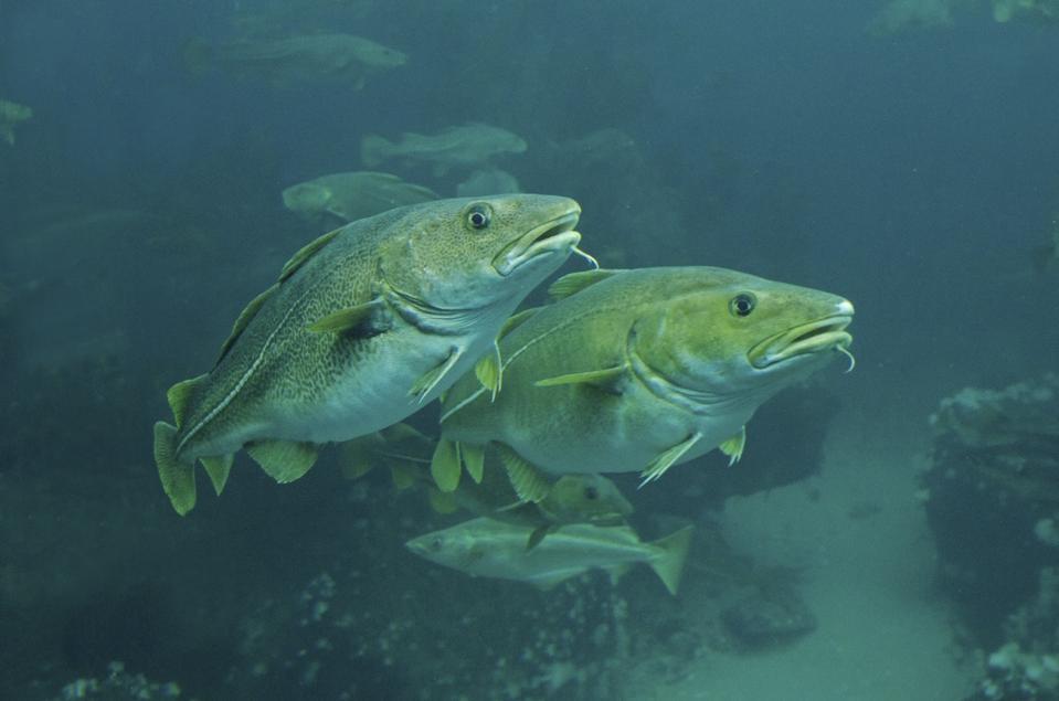 Four Atlantic Cod (fish) swimming underwater
