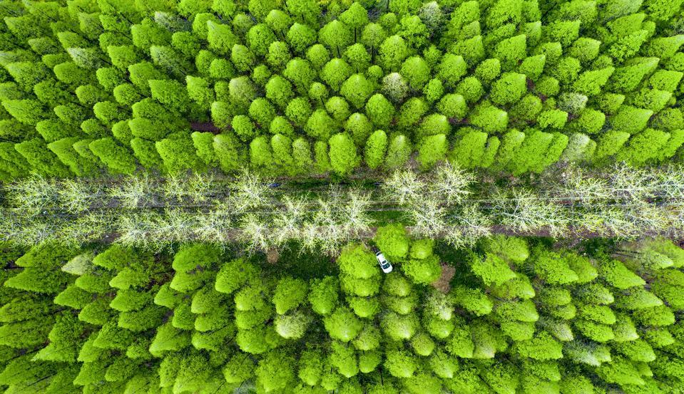 Lush Metasequoia Forest
