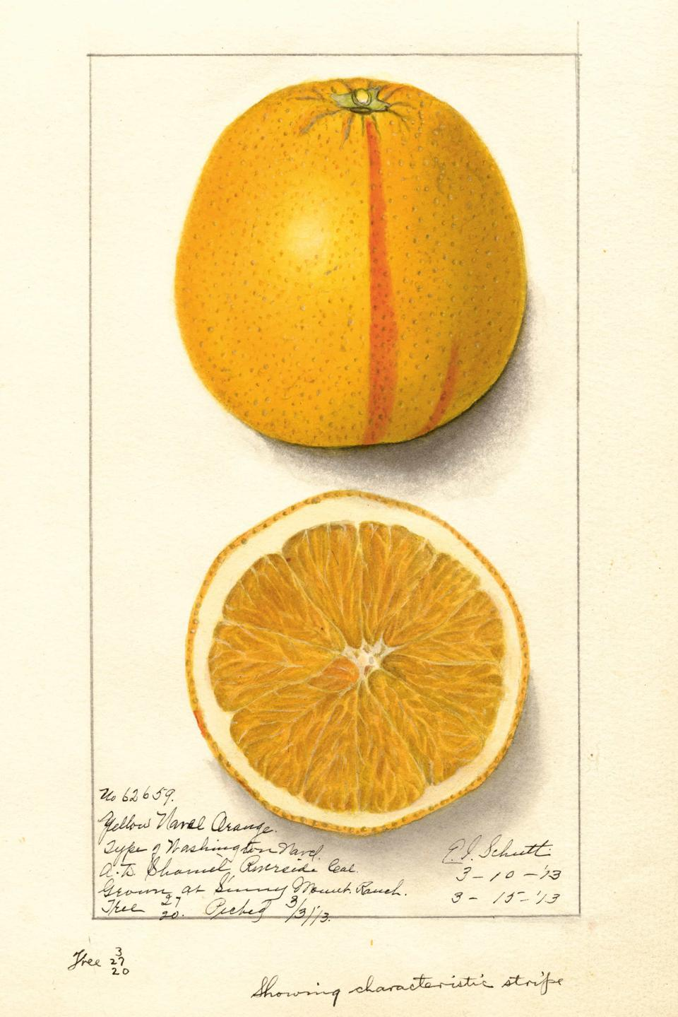 Orange, Washington Navel. By E. I. Schutt, 1913. Image from An Illustrated Catalog of American Fruits & Nuts, published by Atelier Editions. USDA Pomological Watercolor Collection. Courtesy of Special Collections, USDA National Agricultural Library.