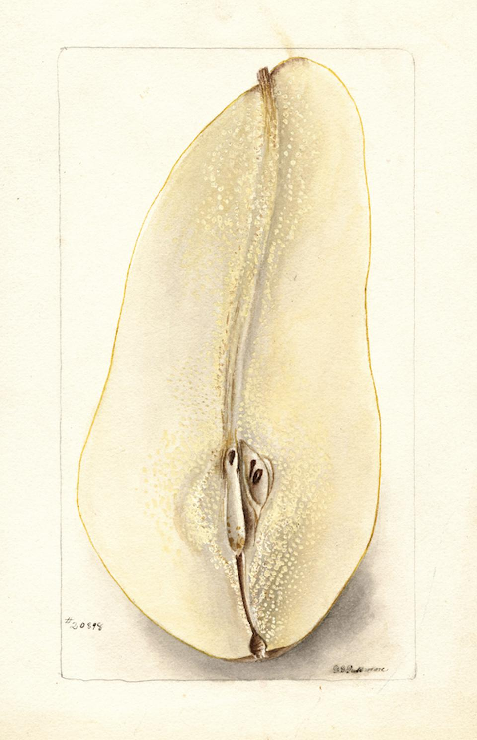 Pear, Belle Angevine. By D. G. Passmore, 1900. Image from An Illustrated Catalog of American Fruits & Nuts, published by Atelier Editions. USDA Pomological Watercolor Collection. Courtesy of Special Collections, USDA National Agricultural Library.