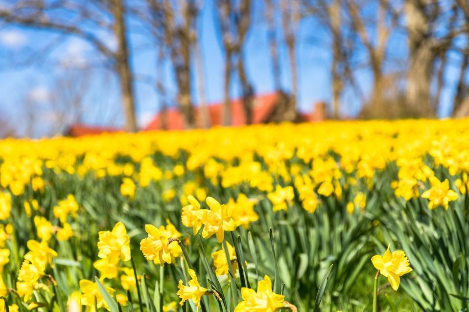 NEWPORT, RI - View of a field of Daffodils near the Cliff Walk in Newport, RI