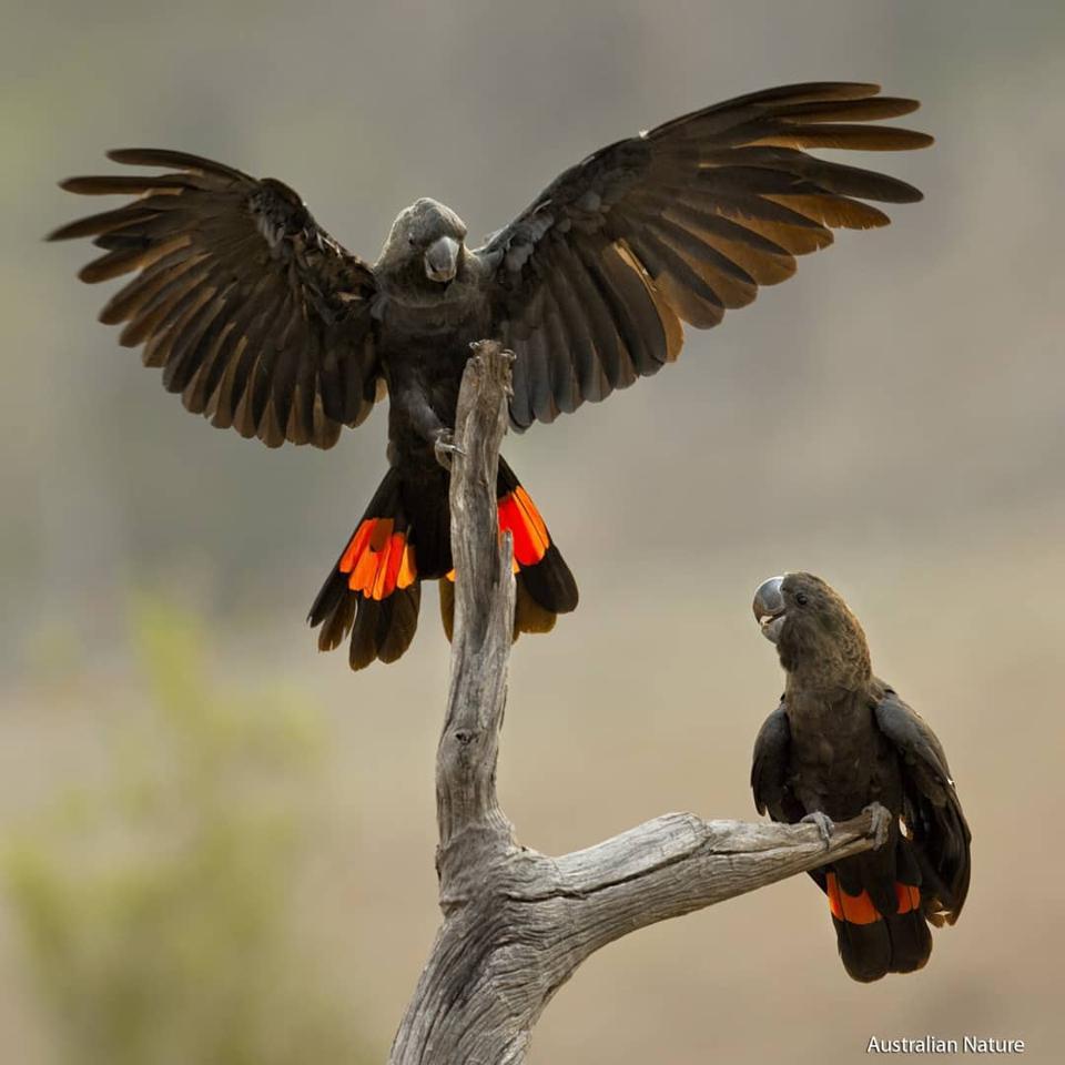 Glossy black cockatoos (Calyptorhynchus lathami) (Credit: Bowerbirdaus / CC BY-SA 4.0)