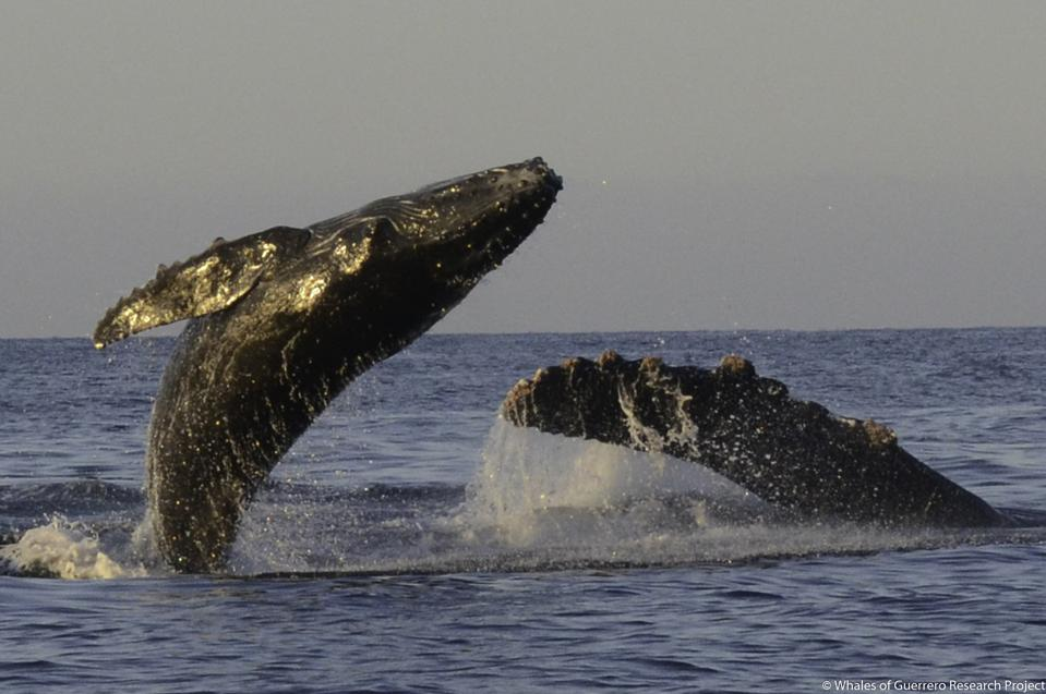 Humpback whales breaching.