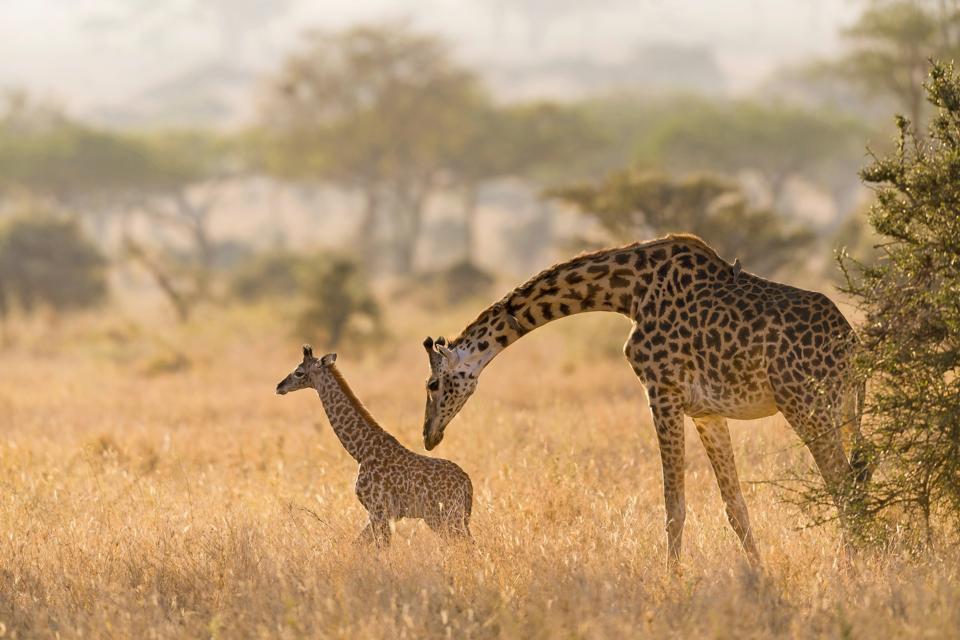 A giraffe mother grooming her calf in Serengeti.