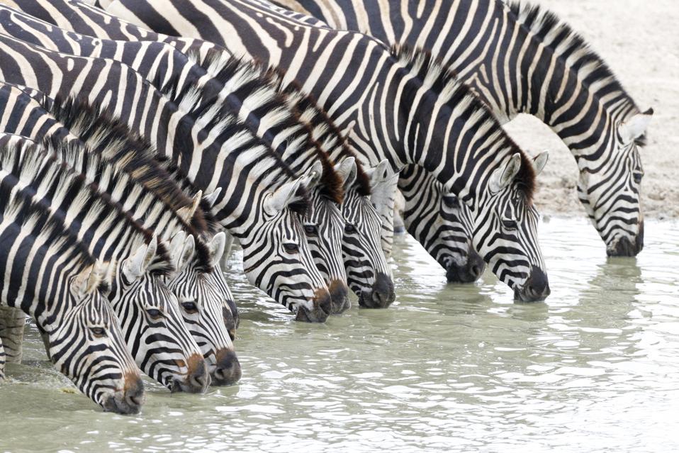 Zebras line up to drink water in Kruger National Park in South Africa