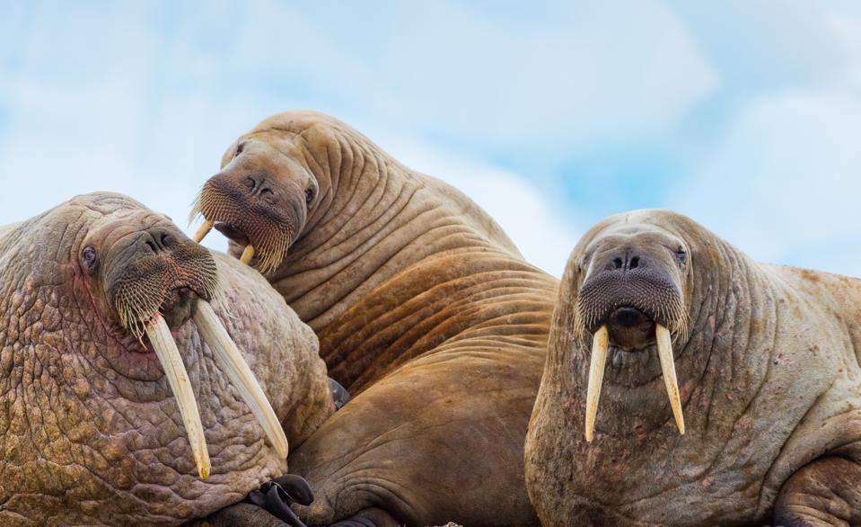 Walrus on oceanside arctic beach, near iceberg.