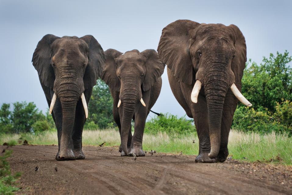 Three Big Elephants on a Dirt Road