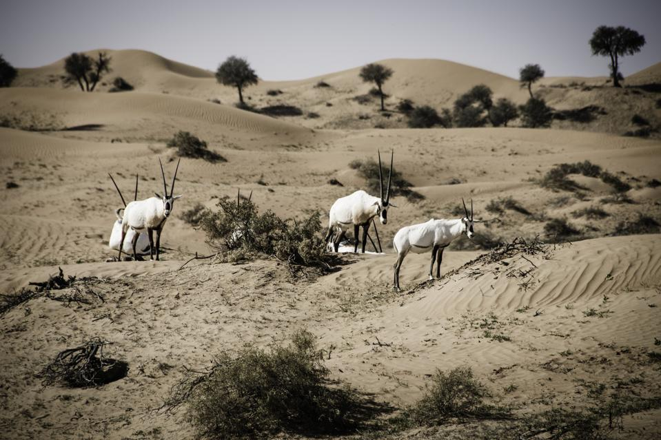 Three long-horned white oryx with black legs stand in the dunes, with several trees and bushes dotting the landscape