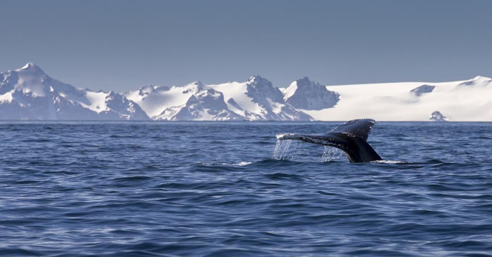 Humpback whale in Antarctica