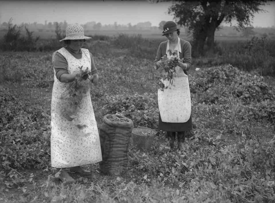 These 1936 Essex pea pickers probably didn't dream that peas could help save the planet one day