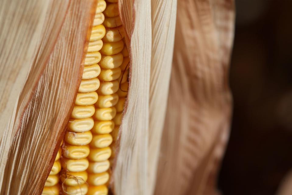 Corn Cob Ready For Harvest