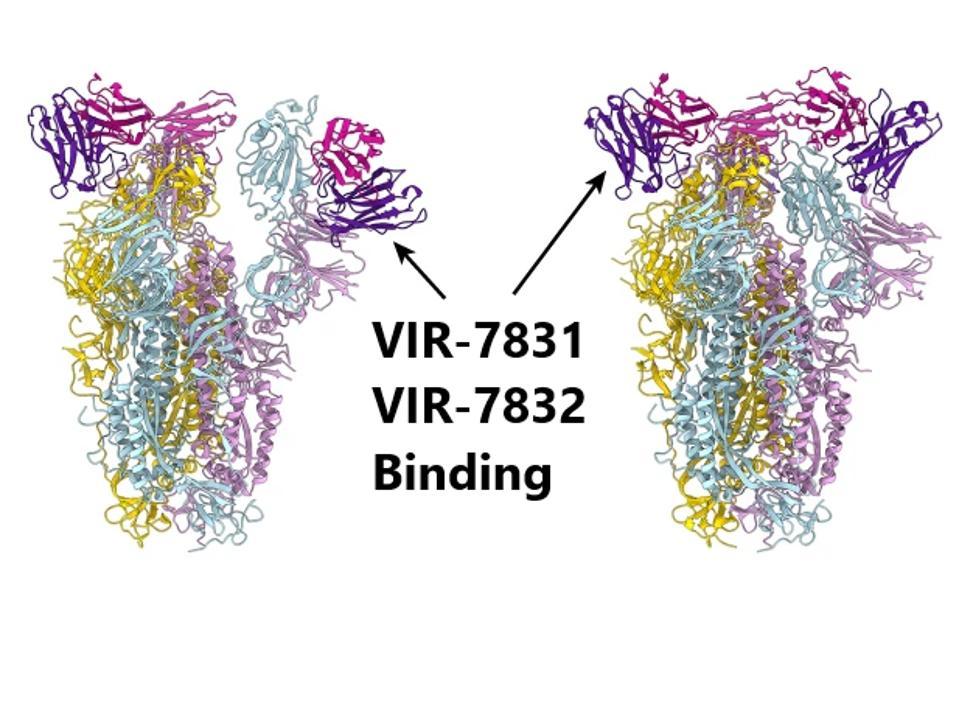 Sites for VIR-7831 and VIR-7832 binding