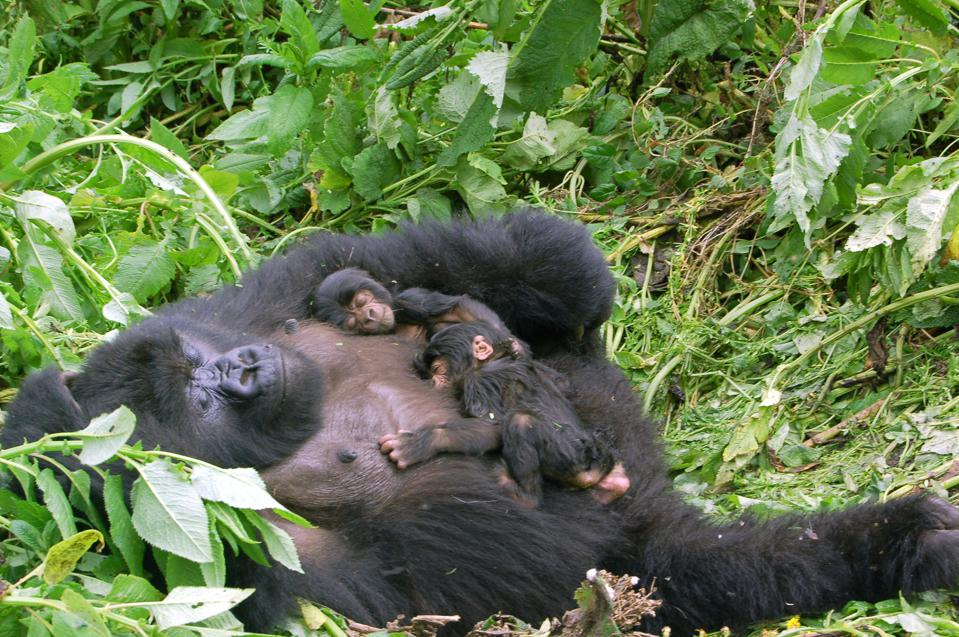 A mother gorilla lies on her back with two baby gorillas curled up on her belly