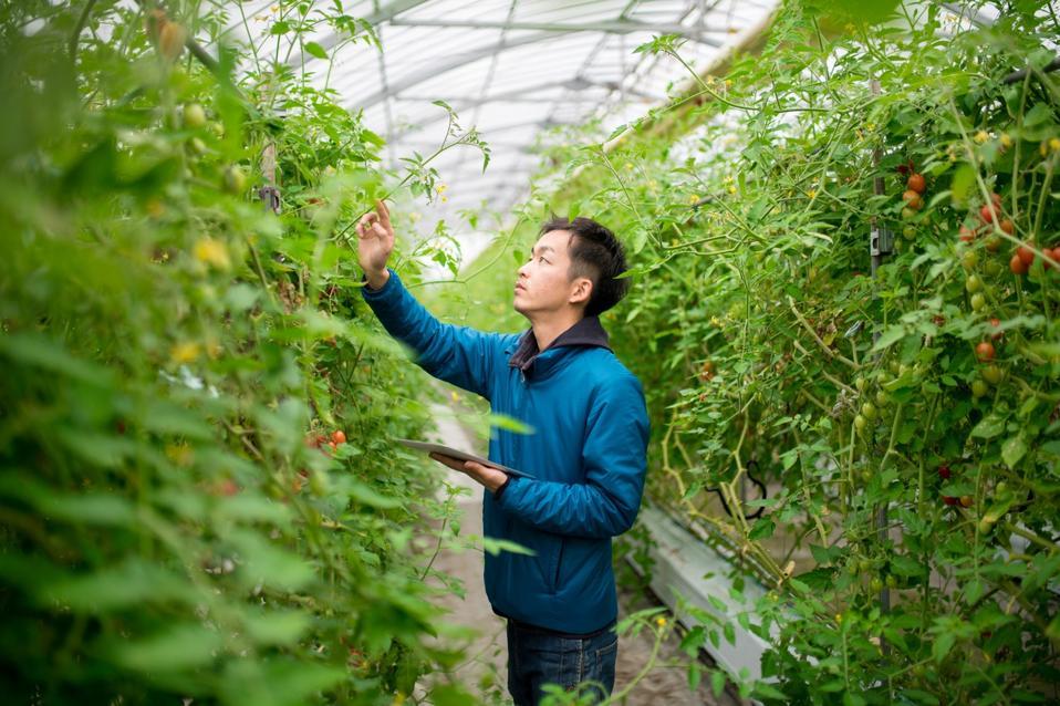 Farmer using a digital tablet in a greenhouse