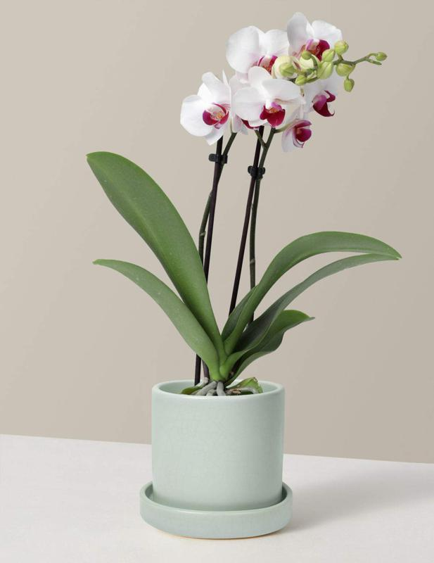 Best Flowers For Mother's Day: The Sill Petite White Orchid
