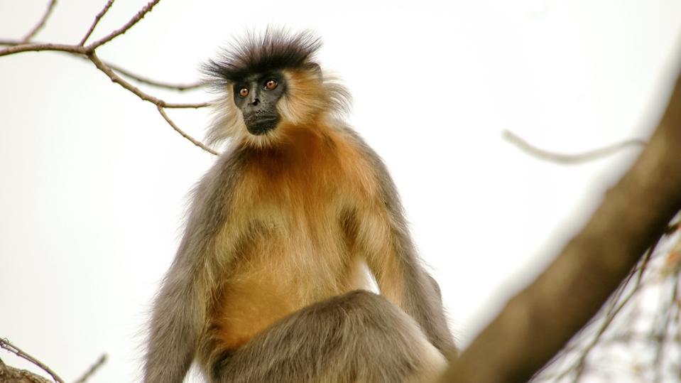 Capped Langur (Trachypithecus pileatus), Manas National Park, Assam, India.