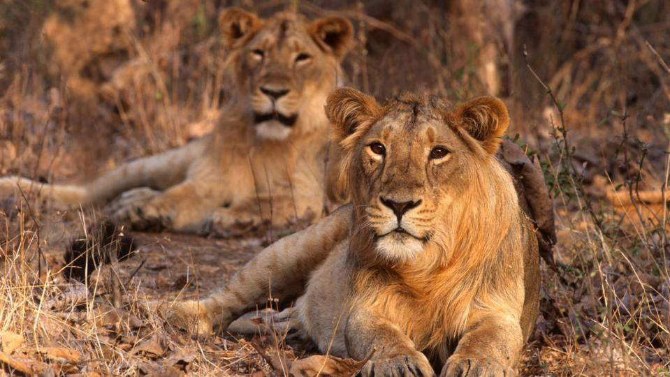 Asiatic Lion (Panthera leo persica)