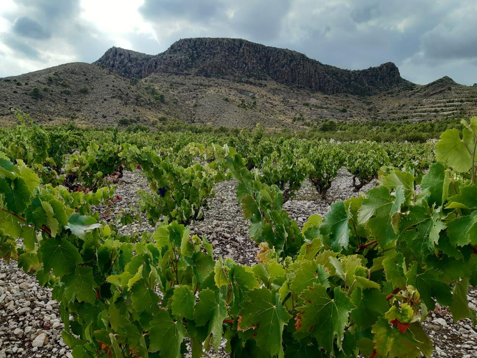 The stark landscape of Jumilla, with bush vines in foreground.
