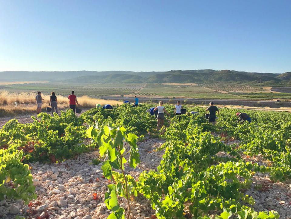The 2020 harvest at Viña Elena, Jumilla.