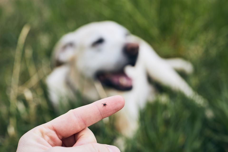 Tick on human finger against dog