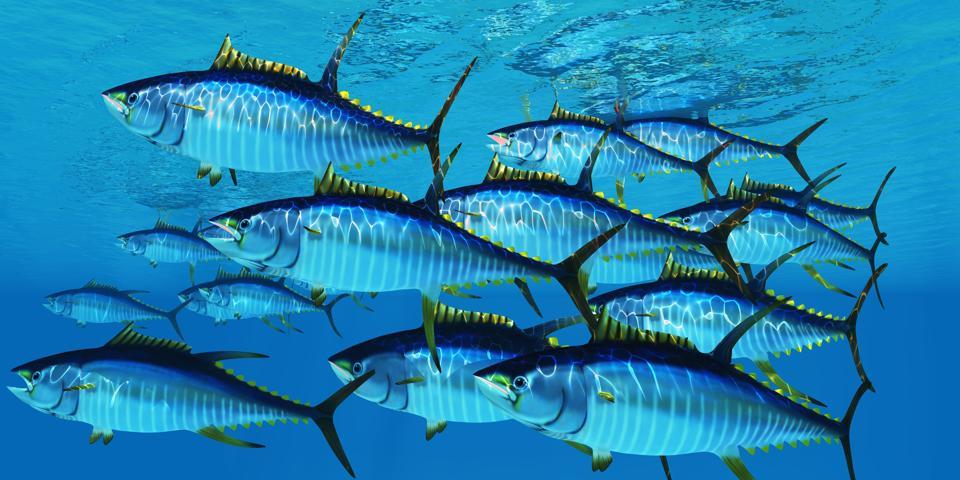 A school of yellowfin tuna.
