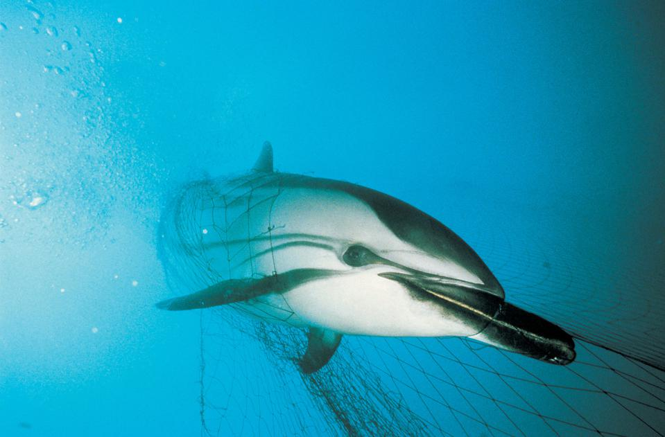 A dolphin caught in a fishing net underwater.