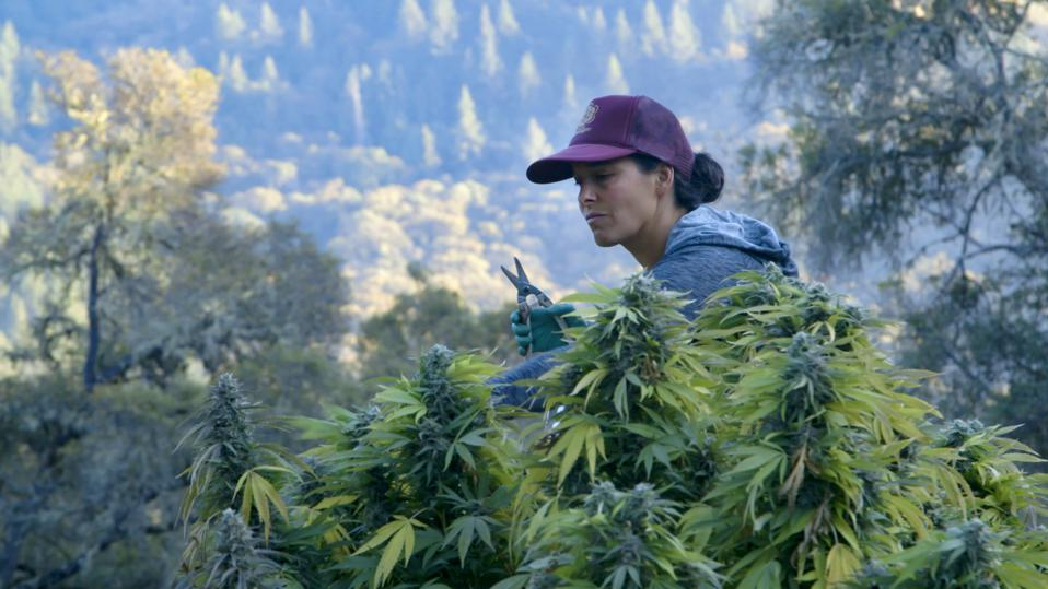 Second-generation cannabis grower Chiah Rodriques is harvesting buds from a 14-foot cannabis plant in the hills of Mendocino County, California.
