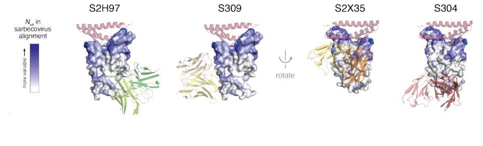 Four receptor-binding domain core antibodies